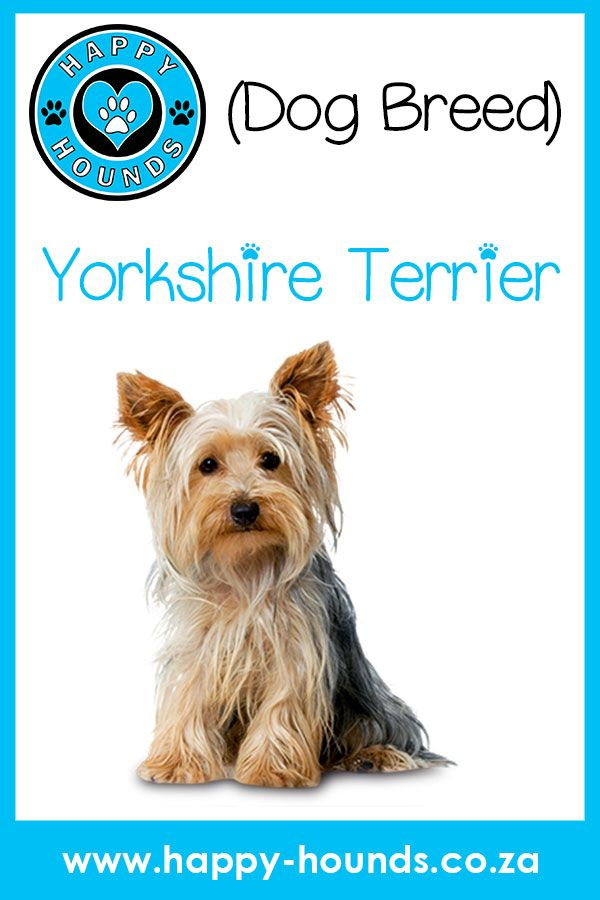 Yorkshire Terrier Dog Breed Aka Yorkie Would You Like To Know