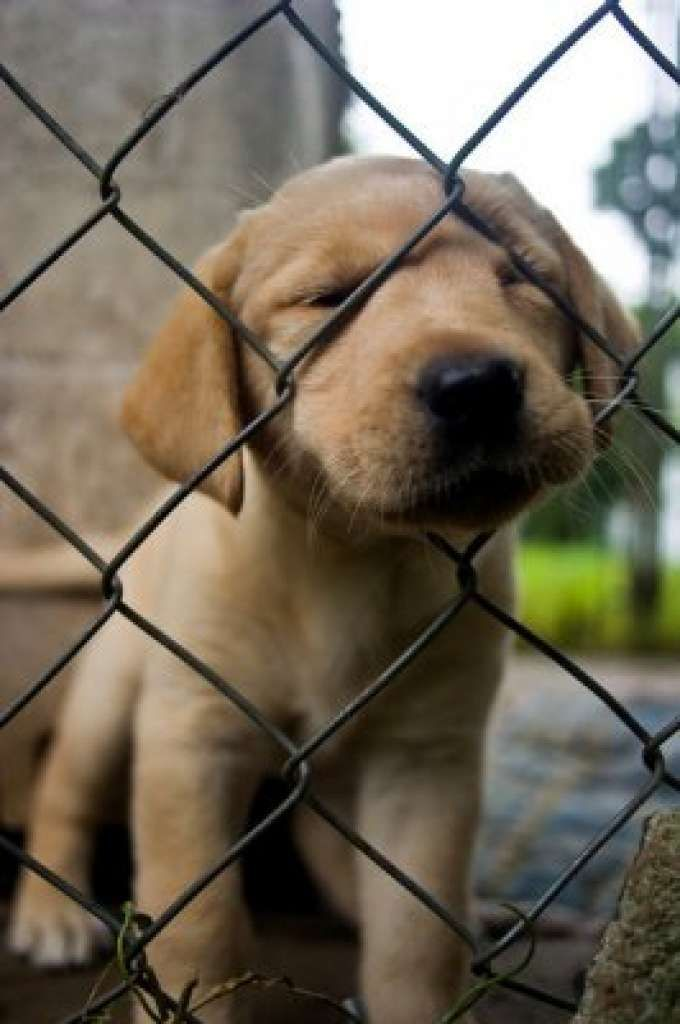 A yellow Labrador retriever puppy from breeder Gretchen Boss of Breckin Labradors tries to get through a chain link fence in West Springfield, Mass., on Sunday, August 9, 2009. (Brett Mickelson / Brett Mickelson)