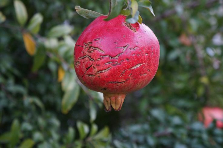 Pomegranate by Halil Şafak on 500px