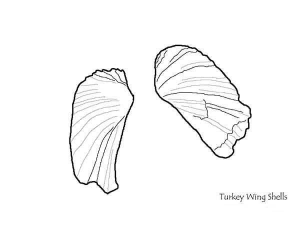 Seashell A Pair Of Pretty Turkey Wing Seashell Coloring Page