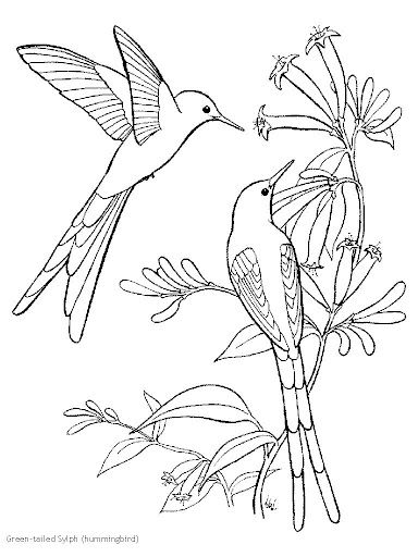 find this pin and more on pssaros long tailed sylph hummingbird coloring page
