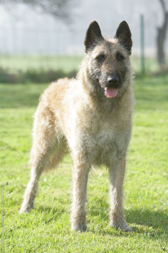 belgian shepherd dog laekenois chien de berger belge