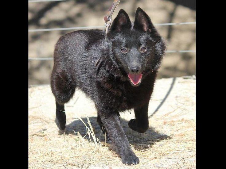 Deborah Kunic Has Schipperke Puppies For Sale In San Miguel, CA On AKC PuppyFinder