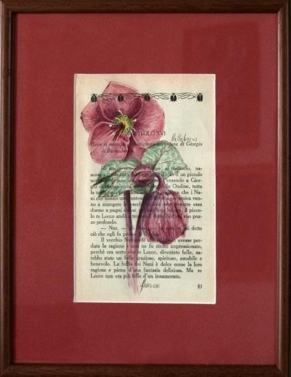 stampe e originali - franca cecchinato, watercolours, botanical art, hellebore, helleborus, elleboro, acquerelli botanici