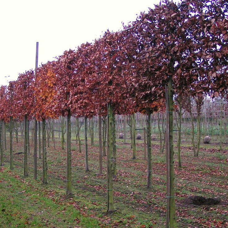 pleached photinia red robin - Google Search