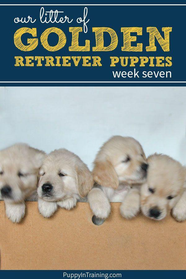 Our Litter Of Golden Retriever Pups Week 7 Puppy Socialization