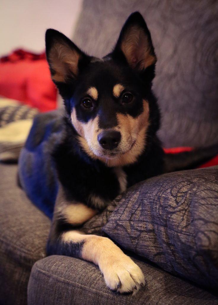 Seita, Lapinporokoira. Lapponian Herder, dog from Finnish Lapland. Photo @virpula