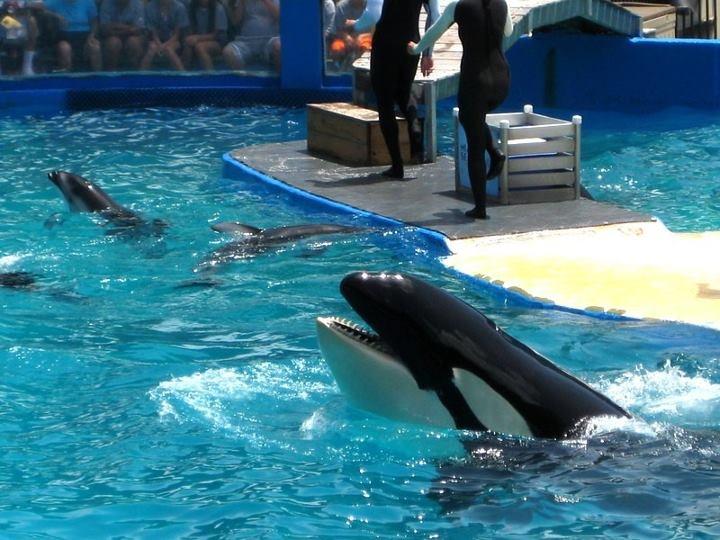 The Cutest killer whale ever!  Miami Seaquarium  Florida, USA