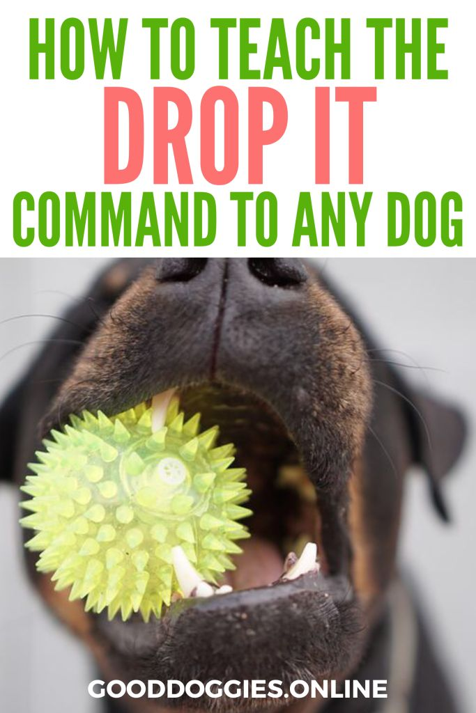 """Does your dog have something dangerous in his mouth? The """"drop it"""" command, when taught correctly, will succeed even when chasing and pulling will not."""