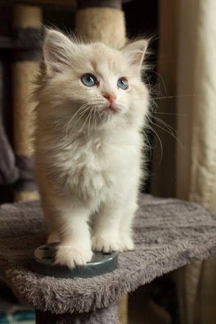 die besten 25 ragdoll katzen ideen auf pinterest h bsche katzen burmesische katze und katzen. Black Bedroom Furniture Sets. Home Design Ideas