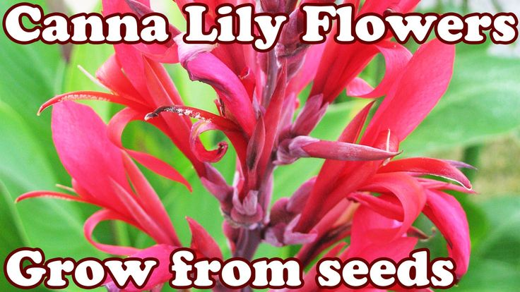 How To Grow Canna Lily Lilly Cannas Lilies Lillies Seed Seeds - Perennia...
