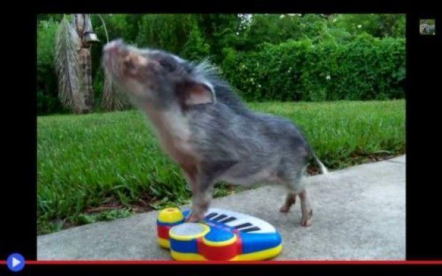 Quando il maiale miagola con la pianola #animali #divertente #video #musica