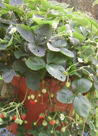 Aardbeien: ostara . doordragers in pot . juiste manier van aardbeien in pot telen