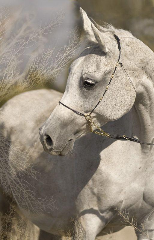 Arabian horse - Arabian stallion