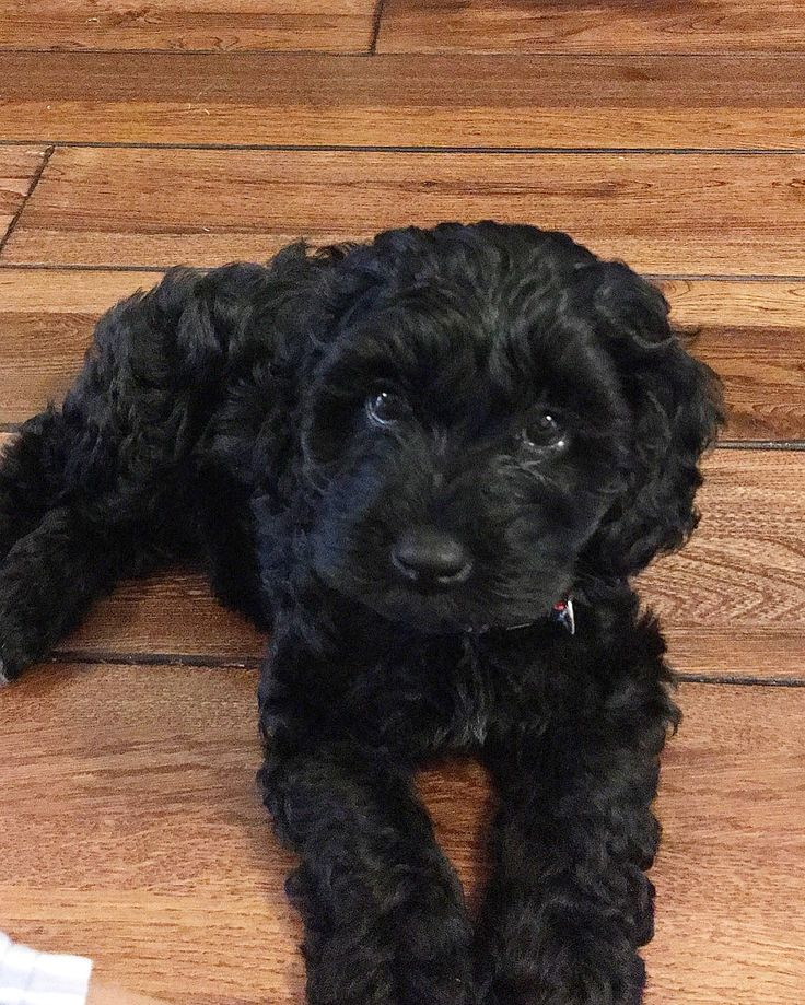Best 25 Black Cockapoo Ideas On Pinterest  Cockapoo -9300