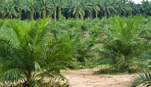 Olio di palma il danno degli incendi dolosi in Indonesia nel 2015 ammonta a 16 miliardi di dollari. Il doppio dei costi del dopo Tsunami