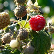framboos, frambozen, rubus idaeus, bessenstruik, bessenstruiken  Alles over bessen kweken, rassen, staplaats, verkooppunten, verzorging, oogsten.