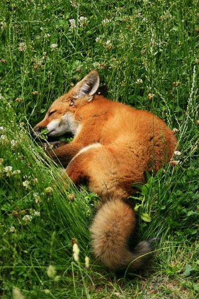 Sleepy fox laying down in the grass and flowers.