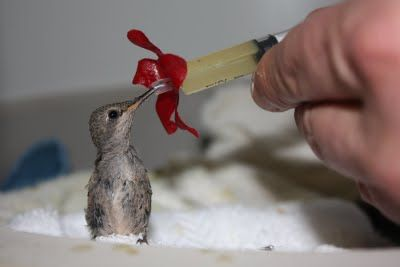 baby hummingbird. too cute!
