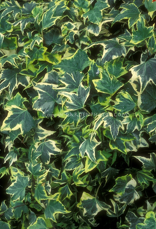 hedera ivy plant - as filler - Google Search   Possible ...
