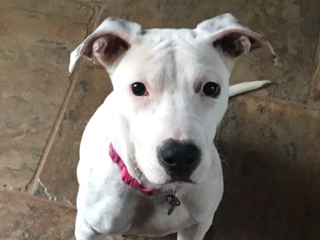 Adopt Coco On Terrier Mix Dogs Terrier Mix Animal Rescue