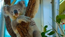 Taronga Zoo is the perfect place to encounter Australia's wildlife. Don't you want to snuggle this guy?