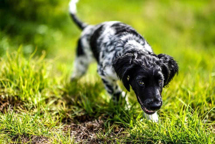 I've never seen a Large Munsterlander on Reddit. Enjoy my pup Milo! http://ift.tt/2jJIcvS