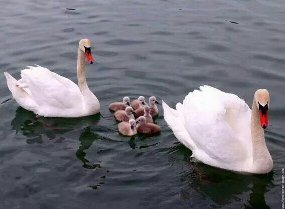 Group Of Swans Called 82