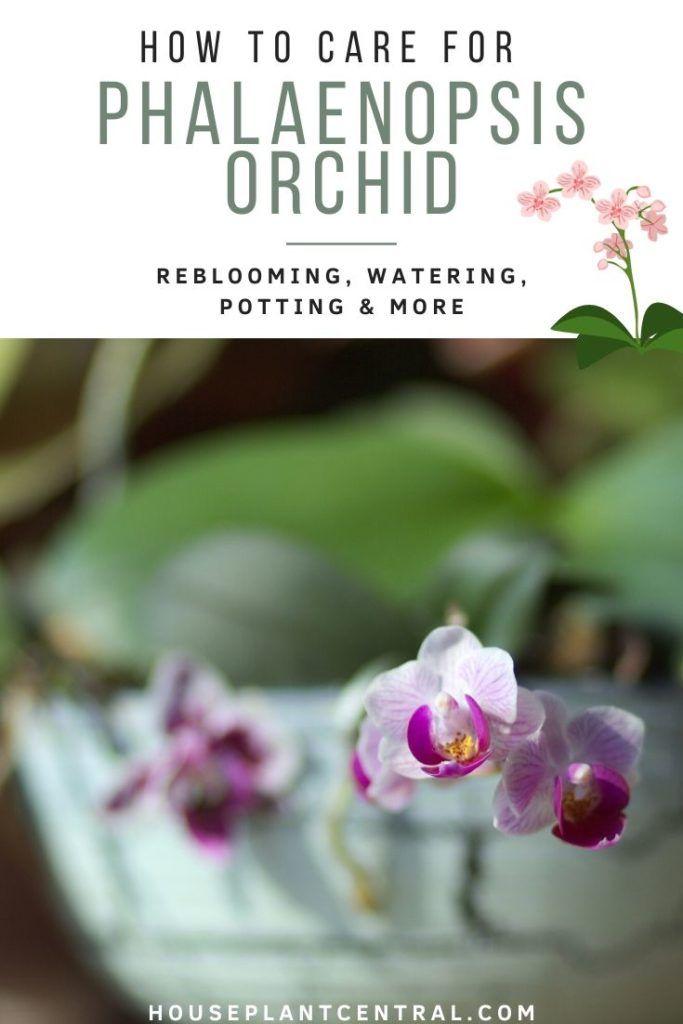 e61d76e470a1faf774446a14205d4f3b - How Do I Get My Phalaenopsis Orchid To Rebloom