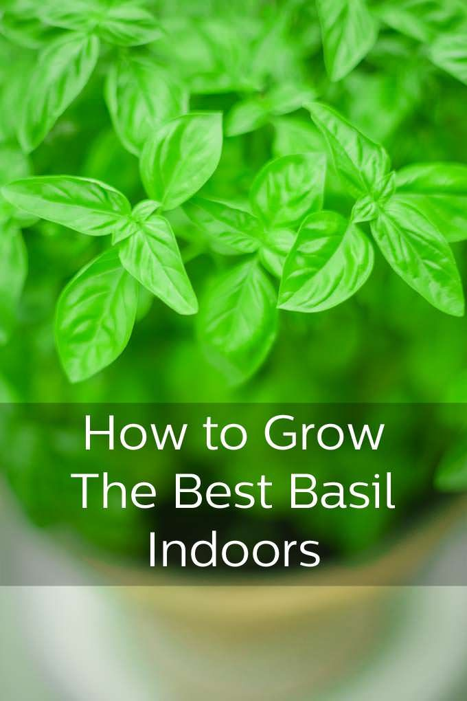 Best Tips For Growing Basil Your Window Ledge