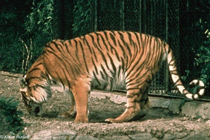 The Caspian Tiger in Lion vs Tiger Discussion Forum