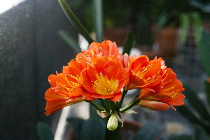 Clivia miniata, Nakayama Orange Multi-petal.  Colorado Clivia's plant no. 2344D.