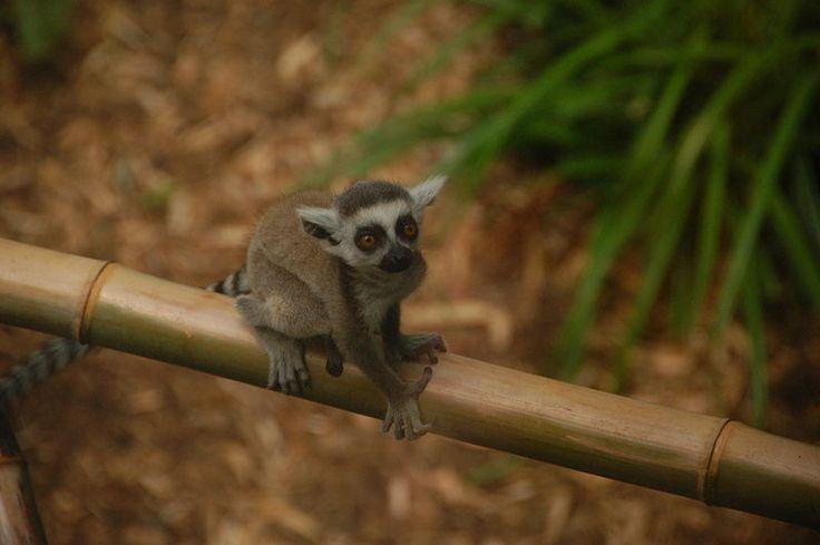 File:Baby Lemur (8348496703) (2).jpg