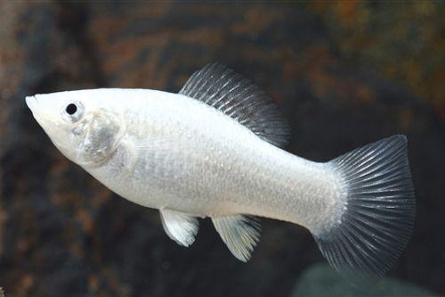 Silver Molly Fish | Silver_Molly.jpg