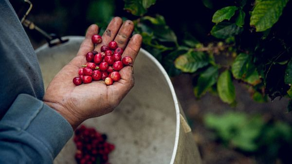 Eureka California Grown Coffee Is Becoming The State S Next Gold Mine Coffee Health Benefits Vietnamese Coffee Delish