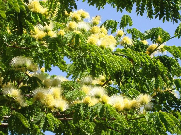 Flor da jurema-branca