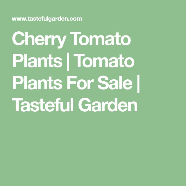 Cherry Tomato Plants   Tomato Plants For Sale   Tasteful Garden