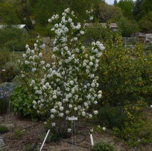 Serviceberry - Amelanchier alnifolia   Draggin Wing Farm