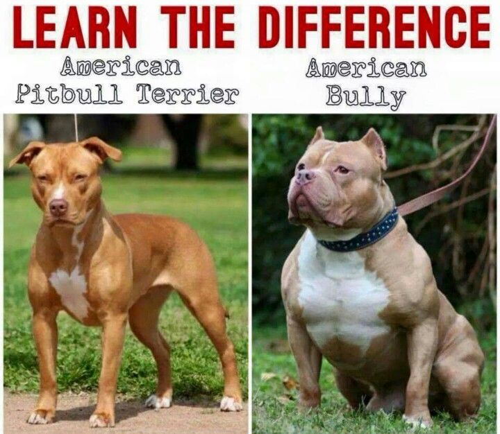 American Pitbull Terrier American Bully Learn the