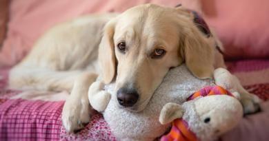 Embarazos psicológicos o pseudogestación en perras