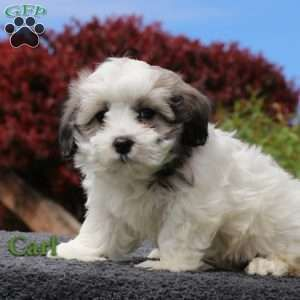 New Arrivals Schnoodle Puppies For Sale Greenfield Puppies Puppies