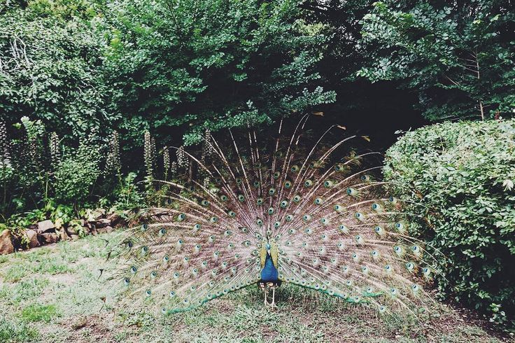Resident peacock at Summerlees... Check this place out of you're in need of a wedding venue! #krewandco #wedding #weddingday #weddingstyle #bride #brideandgroom #groom #happy #love #celebrate #suits #dapper #gentlemen #photooftheday #weddingparty #bridesmaids #weddingvenue #romance #instawed #instawedding #peacock #nature #wild #animal #garden #enchanted #greenfordays