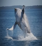 its my dream do the Hervey Bay Whale Watching Day Tour from Sunshine Coast #airnzsunshine