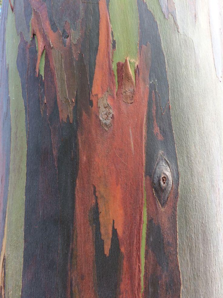 Rainbow gum tree Hawaii