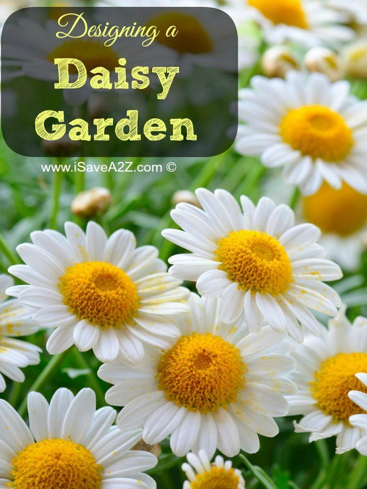 Designing a Daisy Garden is easy and gorgeous too.  Check out all the information you need to know about daisies!