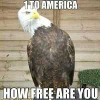 Bald Eagle, pick up line