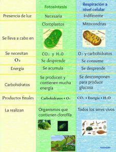 Fotosíntesis y respiración celular (diferencias)