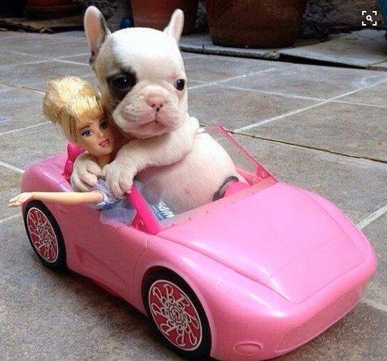 Cute Puppy in a Barbie Car http://www.ashevillepetsitter.com/