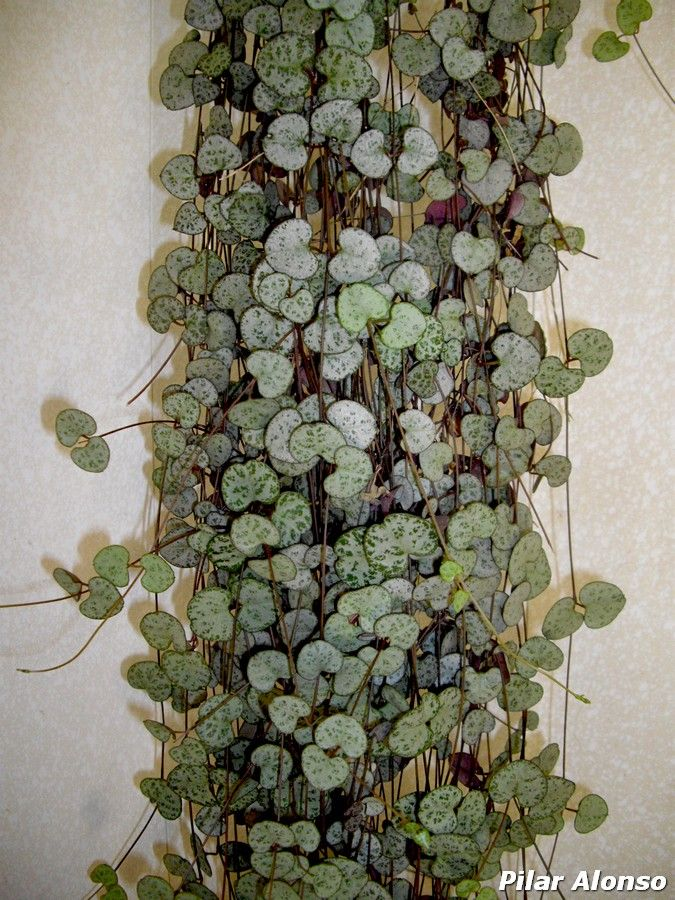 Ceropegia woodii | Leuchterblume, String of hearts