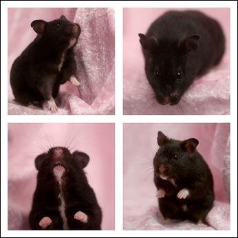 black bear hamster - Google Search | Pets | Bear hamster ...